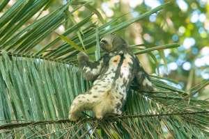 Bradipo nella foresta pluviale amazzonica