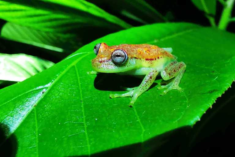 Hypsiboas punctatus polka dotted tree frog in amazon rainforest of peru near iquitos