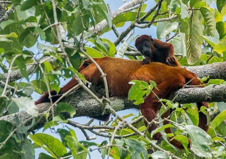 Scimmia urlatrice e scimmia urlatrice del bambino presso la riserva Tamshiyacu Tahuayo sull'affluente Yanayacu