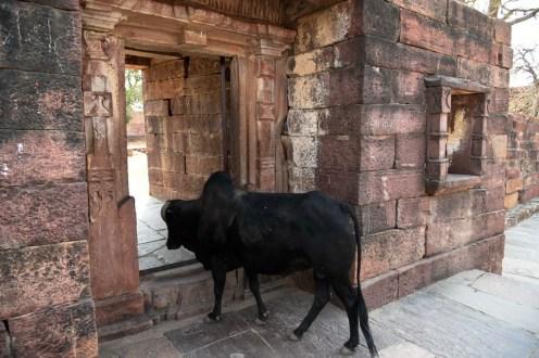 La vache au temple