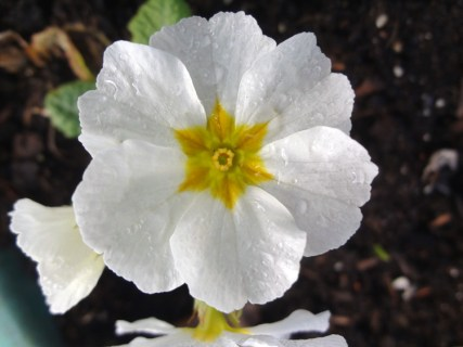 First primrose with frost melted