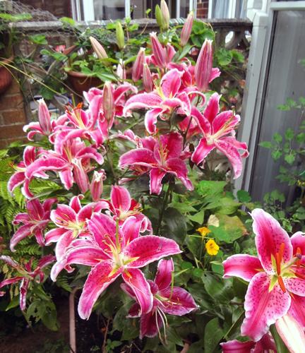 Stargazer lilies 2014