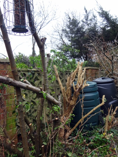 Pyracantha and Buddlia after pruning Feb 2017