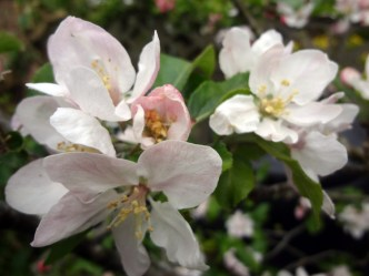 Unknown variety apple blossom