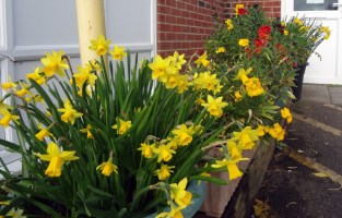 Tete a Tete with wallflowers in background