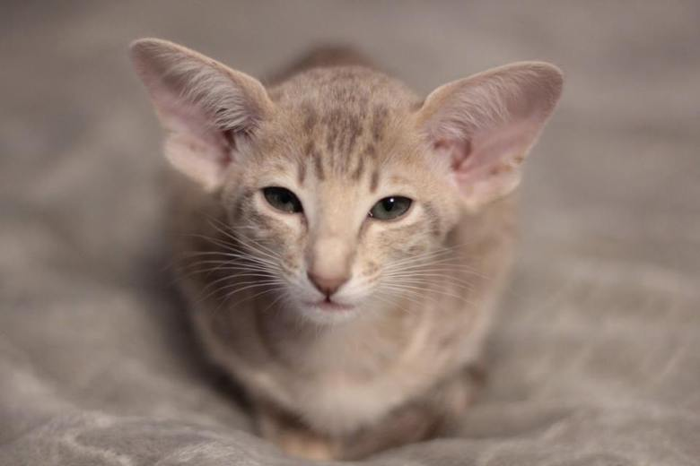 Koty orientalne i syjamskie
