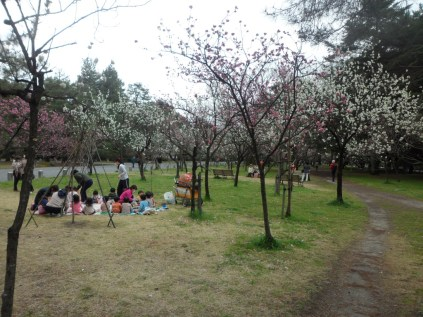 Une classe de maternelles pique-nique sous les derniers pruniers en fleurs.