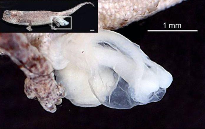 Brokesia nana - El reptil más pequeño del mundo cabe en la punta de tu dedo