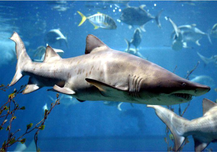 Tiburon toro - ¿Cuántos dientes tiene un tiburón?