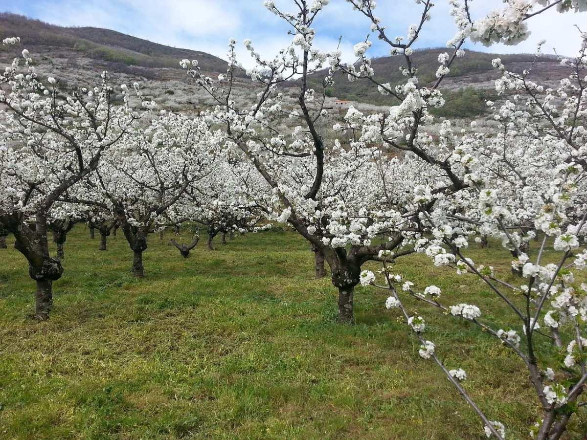 El Valle del Jerte se viste de blanco
