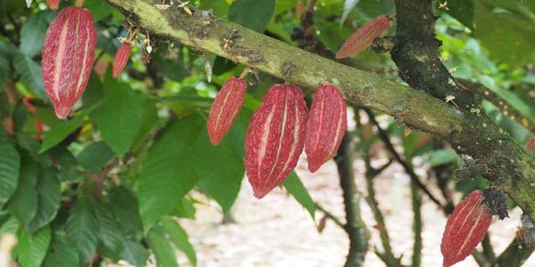 chocolate y café de Ecuador