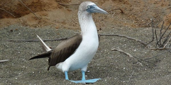 galápagos picote azul