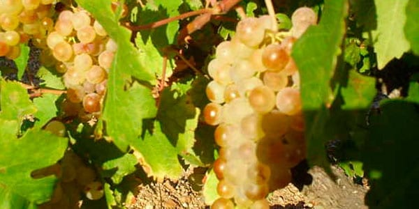 Albillo las variedades de uva blanca