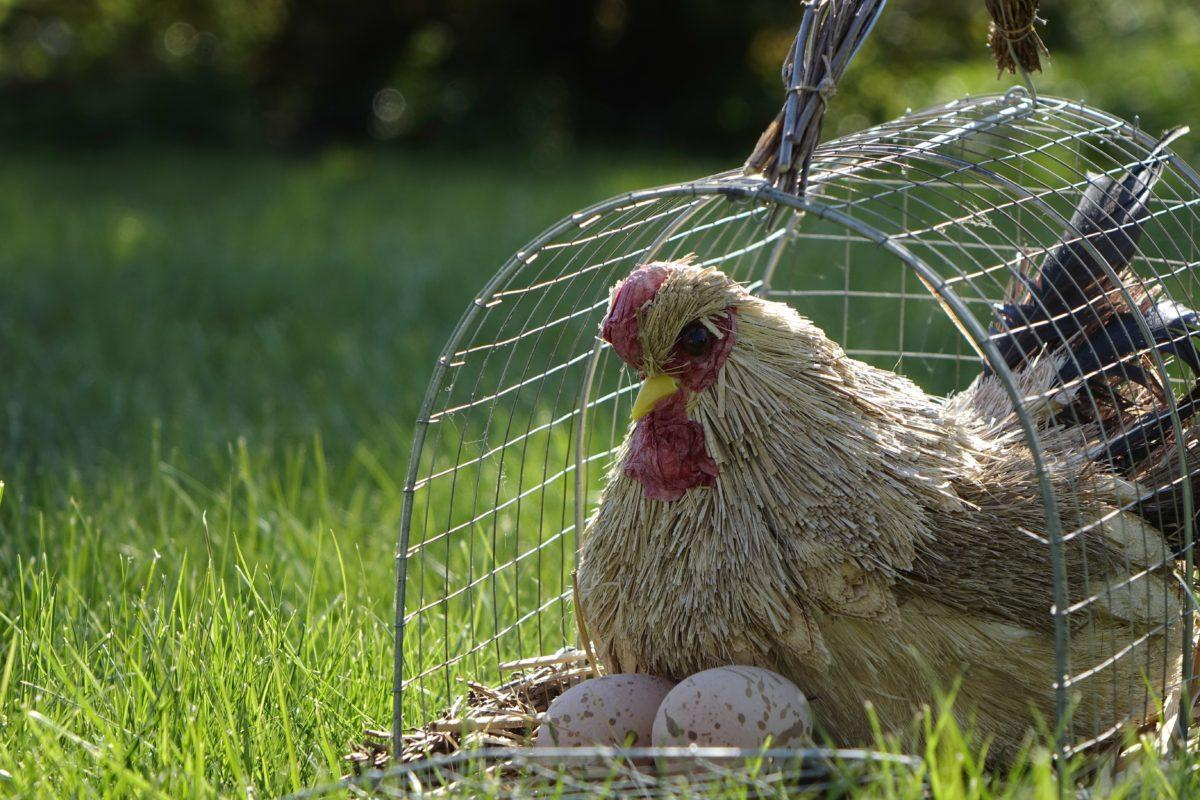 Une poule dans une cage: la chicken box