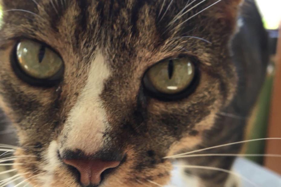 Une tête en gros plan d'un chat tigré