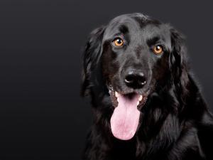 Un chien noir