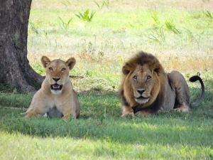 Lion et lionne couchés