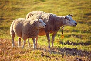 Un agneau et sa mère dans une prairie