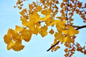 Une branche de ginkgo jaune