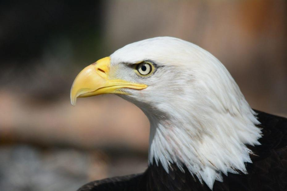 L'animal totem aigle à tête blance