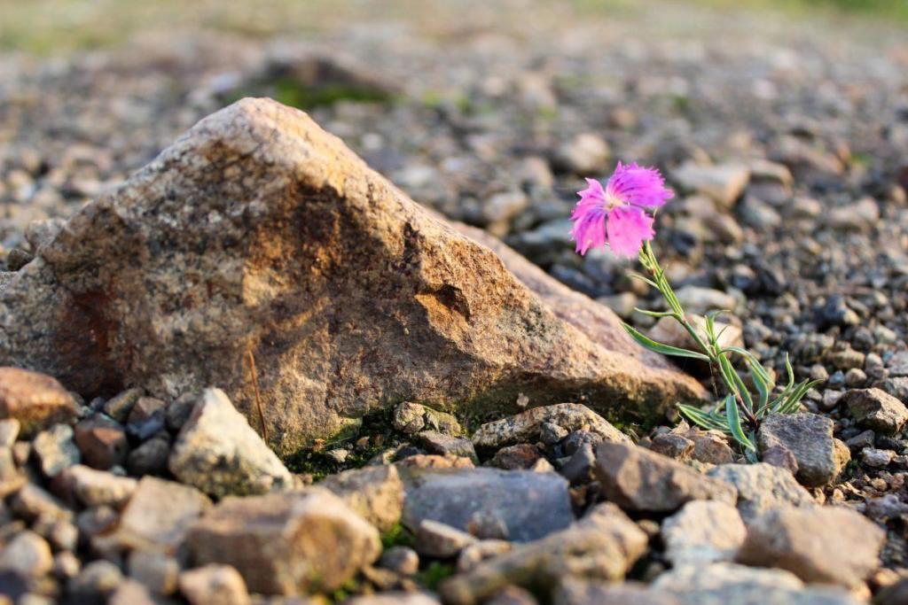 Une fleur qui éclot au milieu des cailloux