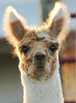 Alpacas in Oklahoma