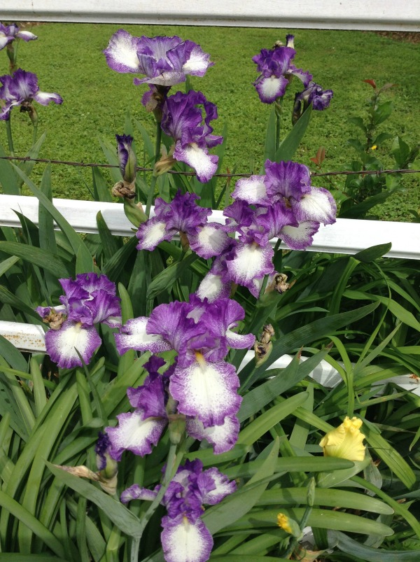 Irises at Grand Lake Oklahoma