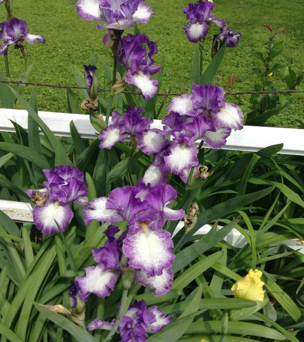 Dig This – It's Iris Season!