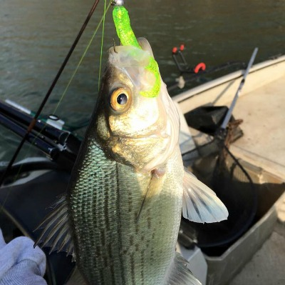 Chasing White Bass On The Spring River