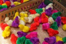java chicks