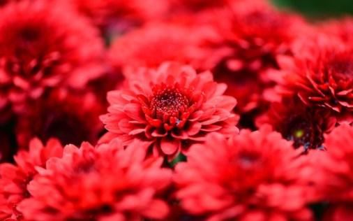 6807778-red-flowers-wallpaper