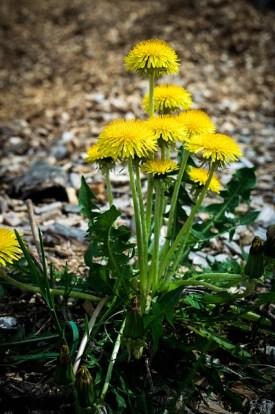plante indésirable: fleurs de pissenlit