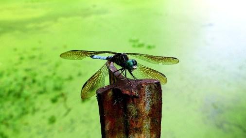 grande libellule