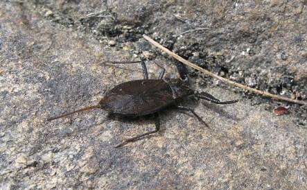 nèpe ou scorpion d'eau