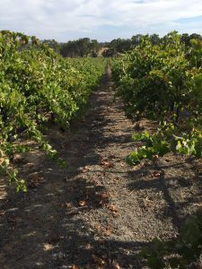 Old Vine Shiraz - Granit Rose Estate