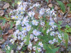 Plenty of trailside asters today.