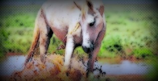 gentled horse