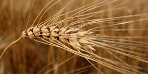 Il grano del Canada