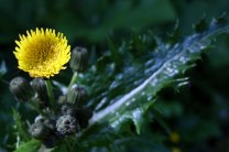 Prickly sow thistle (Sonchus asper)