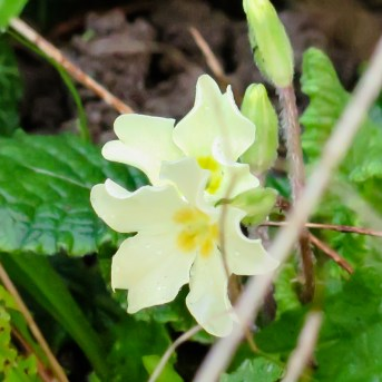 Primrose - Primula veris