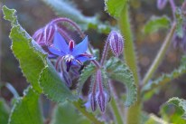 borage flowers-1163168_1920