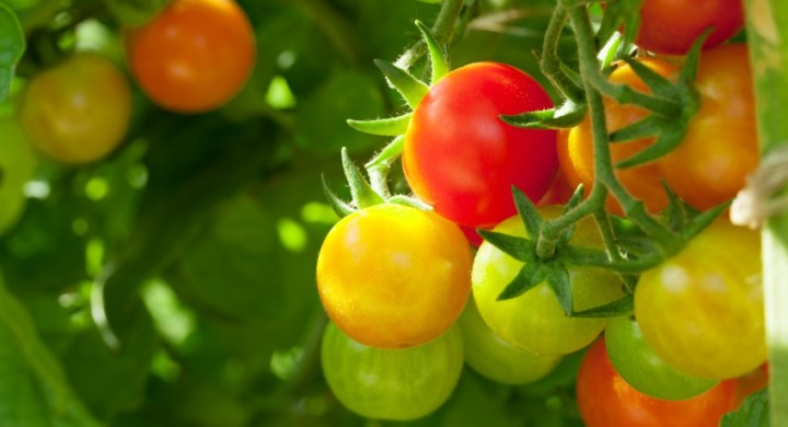 Homegrown cherry tomatoes