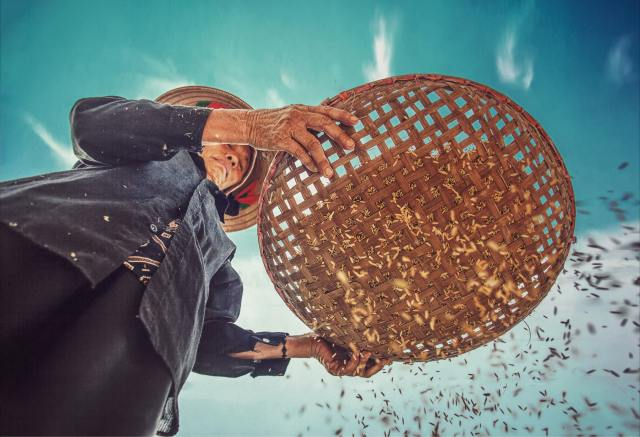 Female farmer sifting rice through a wooden basket, view from below as the grains of rice fall through the gaps in the basket. Blue sky in the background with a few clouds.