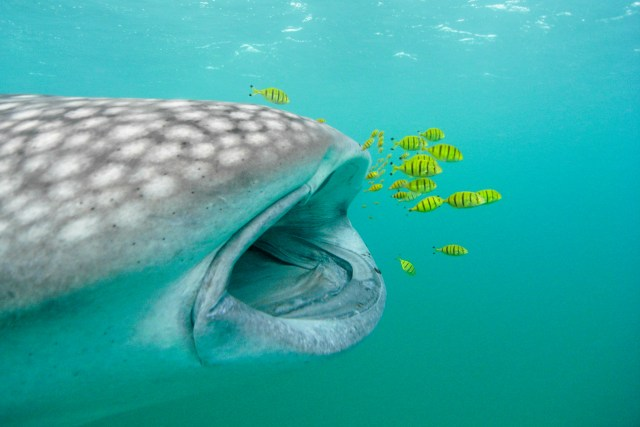 Close up image of a whale shark with its mouth open with yellow pilot fish swimming in front.