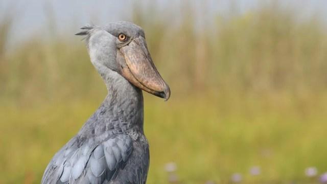 Shoebill bird looking at the camera