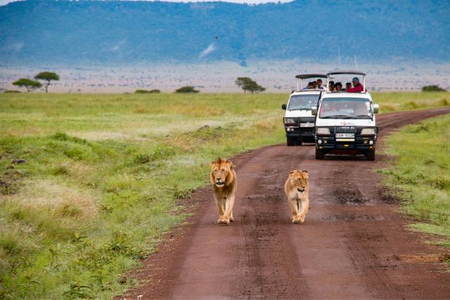 Lions walking down a dirt road followed by two trucks full of tourist in the Masai Mara National Reserve, Kenya.
