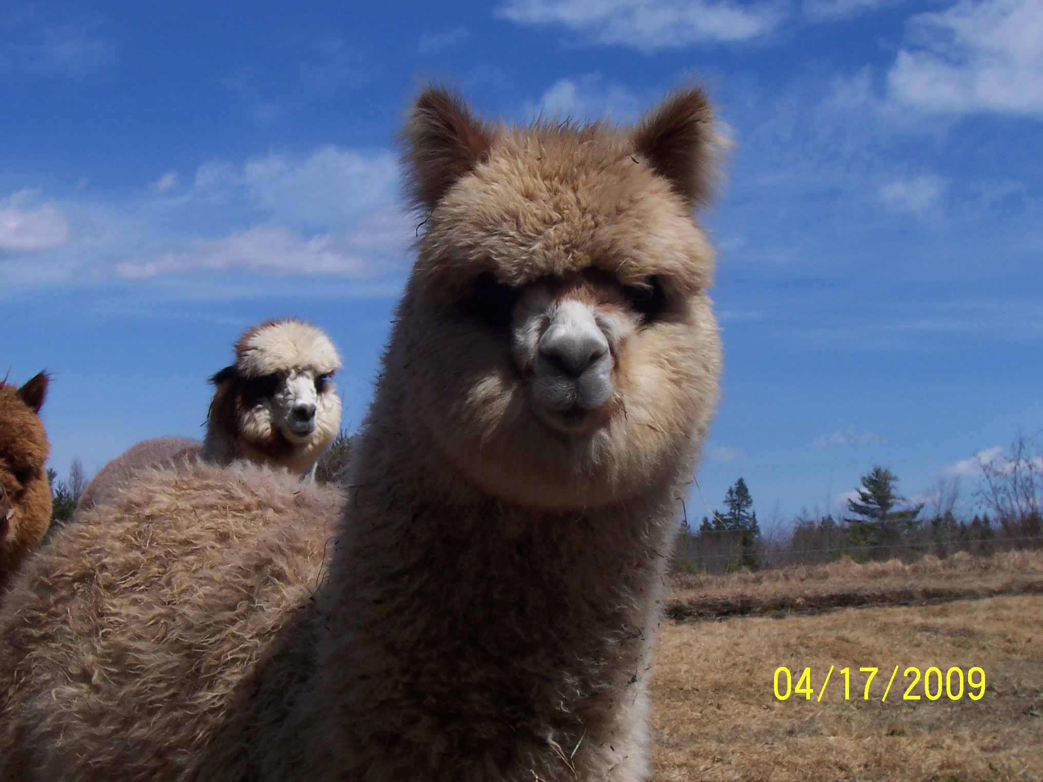 Alpacas are curious and gentle