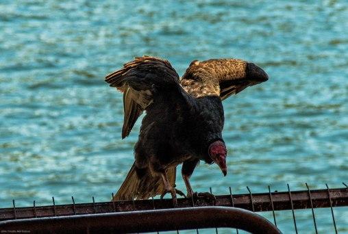 20161123-turkey-vulture-valdivia-fish-market