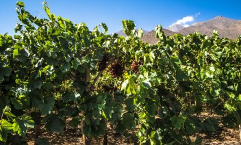Red grapes in Elqui