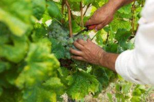 harvest- Credits Douro Wine Tourism